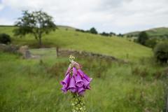 Centre Stage (bev glint) Tags: purple cheshire foxglove wildflower wincle