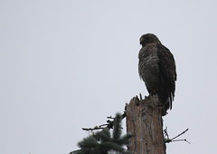 Broad-winged Hawk in the fog (jd.willson) Tags: nature birds island bay hawk wildlife birding maine jd penobscot willson islesboro jdwillson breaodwinged