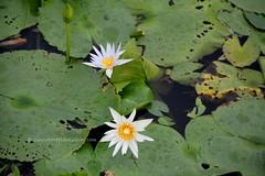 IMG_4205 (singaporeplantslover) Tags: nymphaea   lotus