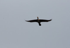 Flying over (aitch tee) Tags: nature flying cormorant phalacrocoraxcarbo lochlomondviews