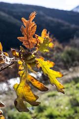 C2968-Vuelve el otoño (amarillean las hojas) (Eduardo Arias Rábanos) Tags: autumn leaves sex hojas lumix oak compositions panasonic sexo otoño g6 composiciones roble eduardoarias eduardoariasrábanos