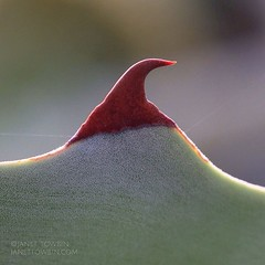 Agave (j.towbin ©) Tags: plant macro texture nature desert bokeh sharp agave pointed gardenmacro macromondays allrightsreserved©