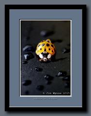 Walkin' In The Rain (Pixelblender) Tags: orange ontario black macro yellow droplets beetle shell sarnia raindrops ladybird carapace dadybug
