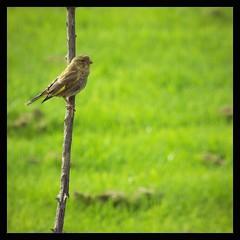 greenfinch (Neil Tackaberry) Tags: life ireland wild irish bird animal garden wildlife young neil juvenile ornithology greenfinch gardenbird neilt gardenvisitor tackaberry neiltackaberry