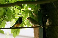 love singers (in a birdhouse) (Xipeteon) Tags: bird net birdhouse cage sparrow songbird
