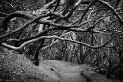Come with me into the trees... (Thomas Frejek) Tags: spain canarias tenerife santacruzdetenerife es teneriffa spanien 2015 laurisilva anagagebirge lorbeerwald parqueruraldeanaga macizodeanaga