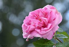 "Thursday`s Rose  ""Gertrude Jekyll"" (Eleanor (No multiple invites please)) Tags: uk rose bokeh raindrops pinkrose bushey gertrudejekyll busheyrosegarden nikond7100 october2015"