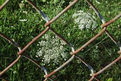 Framed (lefeber) Tags: flowers newyork grass rural fence town rust dof village chainlinkfence smalltown queenanneslace hudsonvalley rustymetal highlandfalls