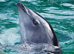 Hop (EmilyOrca) Tags: pool face training aquarium afternoon dolphin ripple reflect cetacean
