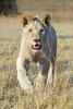 Happy white lion walking in the grass (Tambako the Jaguar) Tags: wild portrait white male grass cat walking southafrica happy big nikon lion young coming openmouth johannesburg approaching lionpark d4 drygrass