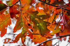 Oak leaves (ronnymariano) Tags: park autumn red lake newyork color green fall leaves us pond oak october unitedstates little peak harriman oakleaves lng sate autumncolor 2015 southfields harrimanpark peakcolor kanawauke lakekanawauke harrimansatepark littlelngpond