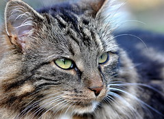 Sie ist der Hausgeist hier; (SpitMcGee) Tags: pet cat explore katze lizzi 223 charlesbaudelaire diekatze zuckerschnecke spitmcgee