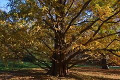 Dawn Redwood (Eddie C3) Tags: autumn trees bronx botanicalgardens autumncolor wavehill dawnredwood metasequoiaglyptostroboides