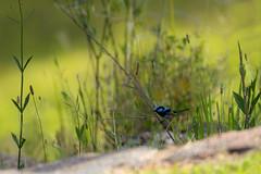 The tiniest visitor (Jutta Sund) Tags: fairy wren bird tiny blue meadow grass green nature dof