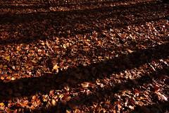 Herbstwaldspaziergang (09) (Rdiger Stehn) Tags: deutschland europa laub herbst natur wald bltter bume schatten schleswigholstein herbstlaub 2000s norddeutschland mitteleuropa 2015 polfilter herbstbltter polarisationsfilter altenholzstift altenholz 2000er canoneos550d