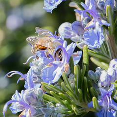 Peeking (glo <Taking a break>) Tags: flower garden insect flora herbs critter bees bee rosemary garden2015 gloriasalvanteglophotography