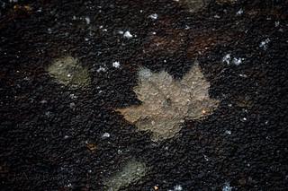 Maple Under Ice