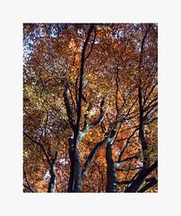 foliage from autumn 2015 - Fuji Velvia 50 (Francesco1983nikon) Tags: autumn color foliage fujifilm 4x5 autunno colori largeformat 50iso fujivelvia50 shenhao 10x12