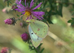 Only a Memory (KsCattails) Tags: autumn flower macro fall nature yellow butterfly insect evening nikon purple blossom outdoor meadow sulphur dreamy aster jccc d7000 kscattails