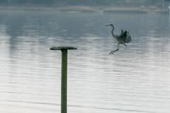 Incoming heron (Tim Brown's Pictures) Tags: thanksgiving bird heron maryland landing greatblueheron birdinflight 2015 stmaryscounty leonardtownmd bretonbay november2015
