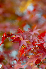 Autumn_colors (gnsk) Tags: japan dof pentax bokeh kobe fa77 k01 pentaxart