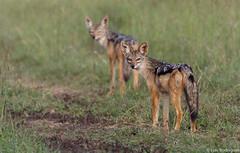 Chacal-de-dorso-negro (dragoms) Tags: africa mammal kenya wildlife nairobi chacal mamfero canismesomelas blackbackedjackal nairobipark qunia dragoms chacaldedorsonegro