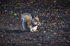 Eichhrnchen (Squirrel) im St. James's Park (London) (Photography by Eric Hentze) Tags: park uk greatbritain autumn england london nature animal tiere nikon squirrel eric outdoor herbst natur walnut stjamespark animalplanet animale tier eichhrnchen walnuss nikond3200 animalphotography tierfotografie d3200 hentze