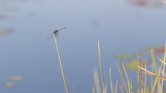 20151109_Shinde_0236.jpg (eLiL1860) Tags: dragonfly botswana okavango tierwelt safari2015