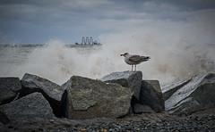DSC05920 (steveschuster561) Tags: ostsee wasser brandung sassnitz meer stein mwe vogel rgen
