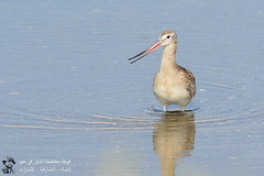 Bar-tailed Godwit @ Khor Kalba, Sharjah, UAE (Ma3eN) Tags: bartailed godwit bird khorkalba sharjah uae 2016