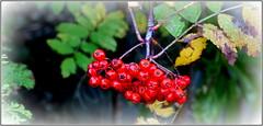 P1150503 Rowan berries - Mountain Ash (hartley_hare7491) Tags: rowan berries