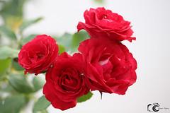 Hermosas rosas (Csar-Ivn) Tags: flores flowers csarivn jardin garden colors