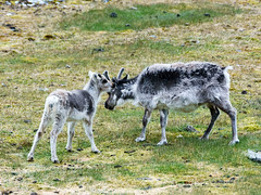 Svalbard Reindeer (Rangifer tarandus platyrhynchus) (David Cook Wildlife Photography) Tags: svalbardreindeer rangifertarandus rangifertarandusplatyrhynchus spitsbergen svalbardarchipelago norway davidcookwildlifephotography kookr sonya77mkii sonyilca77m2 sonysal70400g2 ©2016davidcookwildlifephotographyallrightsreserved