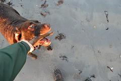 Eye dare you! (Michael C. Hall) Tags: labrador dog stick play tug