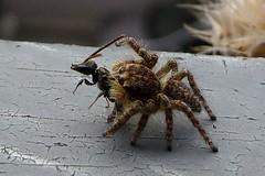 P1480166 Il Ragno saltatore -Salticidae- ha catturato la preda. E' un ragno con il corpo da 5 mm (Franz Maniago) Tags: ragno ragnosaltatore ragnosaltatoreconpreda salticidae