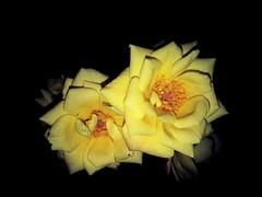 Twins (theGR0WLER) Tags: yellow rose roses flower petal zoom mobile quick detail black vivid