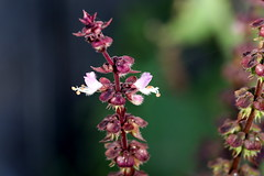 thai_basil_blooms_5Div0234 (cold_penguin1952) Tags: basil herb thaibasil