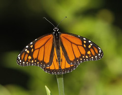 Monarch, male (Danaus plexippus) (AllHarts) Tags: malemonarchdanausplexippus dixongardens memphistn naturesspirit thesunshinegroup naturescarousel butterflygallery