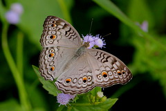 The Grey Pansy (scubahenlik) Tags: butterfly thailand suratthani insect sommerfugl nature nymphalidae