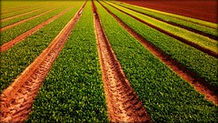 So neat.... (will668) Tags: farming crops greens green lines linear vanishingpoint converginglines leaves fields field farm agriculture autumn