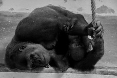 Lisbon Zoo (3) - Dreaming Gorilla embracing her Baby (Cloudwhisperer67) Tags: blackandwhite black white portugal amazing view summer 2016 wonderful place cloudwhisperer67 lisboa lisbon lisbonne city travel trip europe europa cloudwhisperer dream canon journey photography 760d 760 animal zoo photogenic fun monkey monkeys wild wildlife nature wildnature wildphotography gorilla sleeping dreaming her baby adorable embrace embracing love