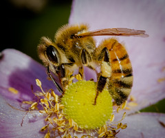 Stocking up for winter (tresed47) Tags: 2016 201610oct 20161006chestercountymacro bee canon7d chestercounty content folder honeybee insects macro pennsylvania peterscamera petersphotos places springtonmanor takenby technical us ngc
