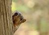 Squirrel, Morton Arboretum. 369 (EOS) (Mega-Magpie) Tags: canon eos 60d nature wildlife outdoors squirrel cute tree the morton arboretum lisle dupage il illinois usa america