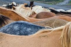 SHL_4664 copy (Shlomi's Pic) Tags: addtoonepic איסלנד בעליחיים טבע טיולחול סוס