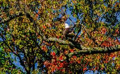 Eagle At Rest (Catskills Photography) Tags: eagle bald animal wildlife nature bird fall autumn canong15