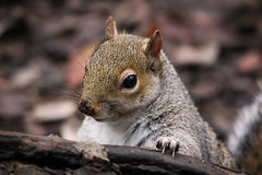 Squirrel at Pennington Flash (Cathal Phelan) Tags: winter sigma canon autumn nature squirrel pennington wildlife ukwildlife uknature reserve cathal cathalphelan phelan
