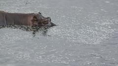 _MG_0521 (esevelez) Tags: tanzania africa serengueti serengeti animales animal animals parque nacional national park nature naturaleza hipopotamo hippopotamus charca pool pond