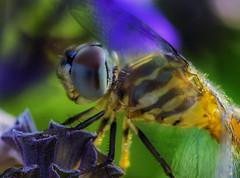 DragonFly_SAF3147-1 (sara97) Tags: dragonfly flyinginsect insect missouri mosquitohawk nature odonata outdoors photobysaraannefinke predator saintlouis urbanpark copyright2016saraannefinke