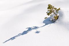 France - A Fir in the Snow (Benjamin PREYRE Photography) Tags: benjaminpreyre preyre paysage landscape snow neige nature wild winter hiver light lumire mountain montagne fir sapin d90 nikon nikkor tree arbre