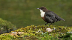Dipper (steve whiteley) Tags: bird birdphotography animal dipper derbyshire wildlife wildlifephotography nature